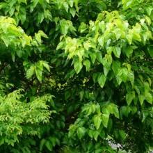 Morus latifolia 'Spirata'