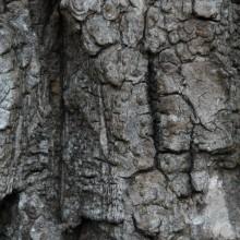 Phellodendron amurense | borka