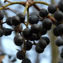 Phellodendron amurense | plody