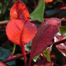 Photinia fraseri 'Little Red Robin'