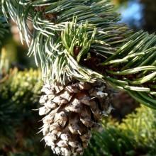 Pinus aristata | šiška