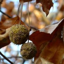 Platanus acerifolia | plody