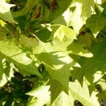 Platanus x acerifolia 'Suttneri'