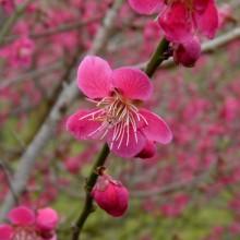 Prunus mume 'Beni chidori' | květ