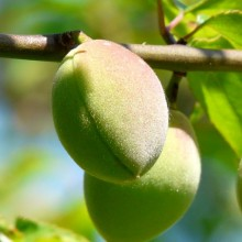 Prunus mume 'Beni chidori' | plod