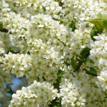 květy v hroznech