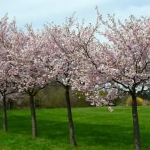 Prunus sargentii 'Accolade'