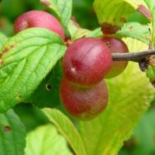 Prunus x choreiana