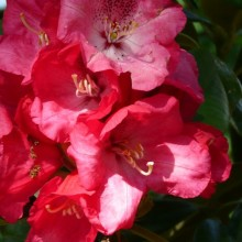 Rhododendron hybr. 'Berliner Liebe'