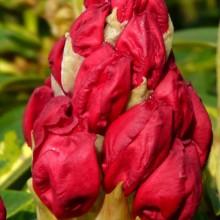 Rhododendron hybr. 'President Roosevelt'