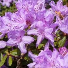 Rhododendron impeditum 'Krumlov'