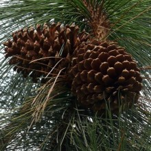 Pinus jeffreyi | šišky