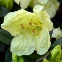 Rhododendron impeditum 'Wren'