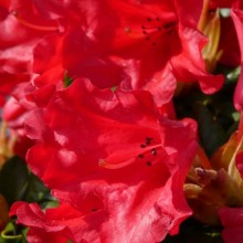 Rhododendron repens 'Scarlet Wonder'