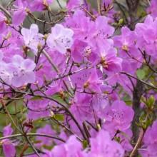 Rhododendron hybr. 'Praecox'
