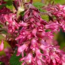 Ribes sanguineum 'King Edward VII' | květ