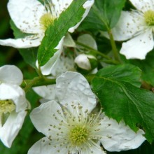 Rubus fruticosus | květ