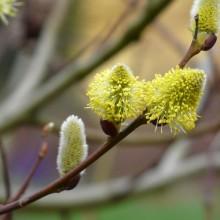 Salix caprea | samčí květy