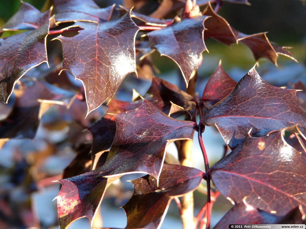Mahonia Aquifolium Mahonie Cesminolista Berberis Aquifolium