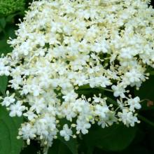 Sambucus nigra | květenství