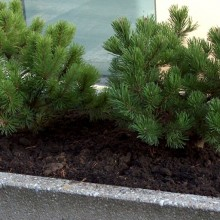 Pinus mugo 'Klosterkoetter'
