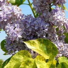 S. vulgaris | kultivar se žlutě žíhanými listy