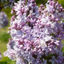 Syringa vulgaris 'Abbel Carriere'