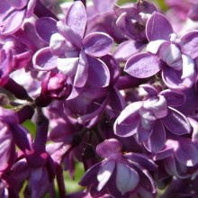 Syringa vulgaris 'Arthur William Paul'