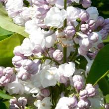 Syringa vulgaris 'General Pershing'