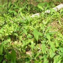 konvalinky v lese