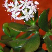 Tlustice - květ, 2011
