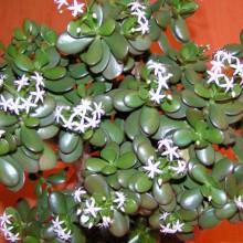 Tlustice - květ, 2012