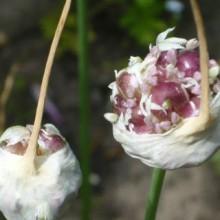 Allium sativum, Česnek setý (3) květ červenec