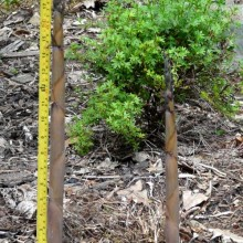 Jak rychle roste bambus